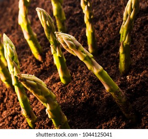 Healthy growth of Asparagus in farmers field