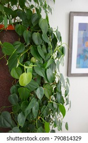 Healthy heart leaf philodendron