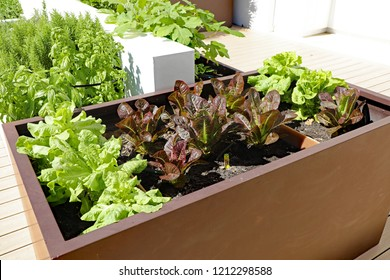 Healthy home garden lettuce grown in a raised planter on an outdoor terrace.