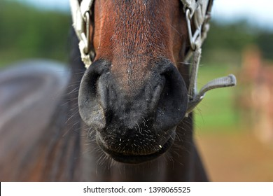 Healthy horse nostrils, nose, breathe.