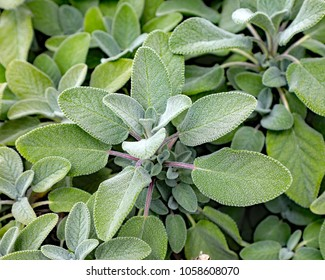 Healthy lemon sage plant, an herb being grown in a planter on an outdoor terrace.  Sage is used frequently in stuffings as an herb adding flavor to the dish.  This is the lemon sage variety.