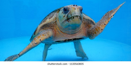 A healthy loggerhead sea turtle in a water tank, preparing to be released back into the ocean, after being nursed back to good health.