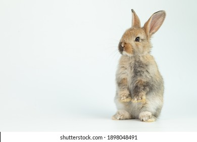 A healthy lovely baby brown bunny easter rabbit stand up on two legs on white background. Cute fluffy rabbit on white background Lovely mammal with beautiful bright eyes in nature life.Animal concept.