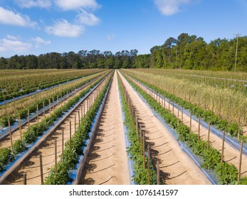 Healthy, lush, tomato field in South Carolina, USA.