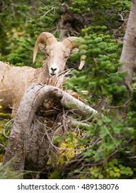 Healthy Male Ram Bighorn Sheep Wild Animal Montana Wildlife