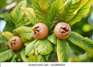 Healthy Medlars in fruit tree - Bawdy autumn fruit medlar brown Mespilus germanica