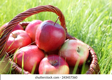 Healthy Organic Ripe Apples in the Basket.