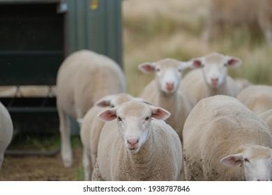 Healthy, pure bred Sheep on a farm