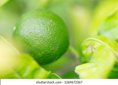 Healthy raw lime, lemon, citrus on a beautiful green tree branch full of leaves and bright sunlight as nature, tropical, health, agriculture background