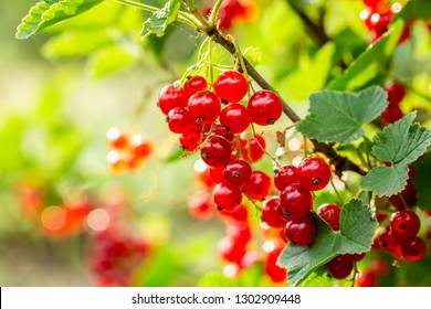 Healthy redcurrant on bush in garden in summer day