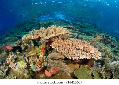 Healthy reef in Indonesia