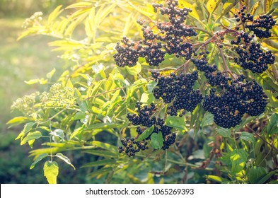 healthy ripe black elderberries cluster