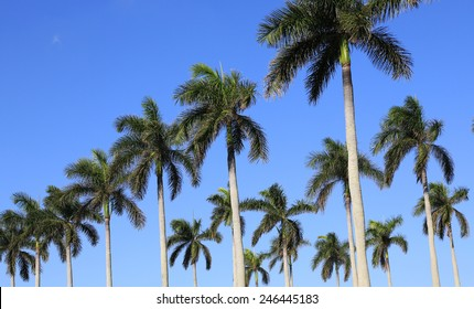 Healthy royal palm trees, a symbol of Palm Beach, Florida