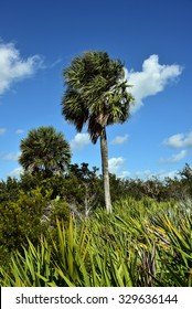 Healthy sabal palm tree in South Florida.  The sabal palm is the state tree of both Florida and South Carolina.