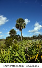 Healthy sabal palm tree in South Florida.  The sabal palm is the state tree of both Florida and South Carolina.