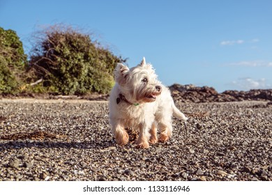 Healthy senior dog exploring shingle beach with shells and pebbles - west highland white terrier westie in New Zealand, NZ. Dog is 12 years old.
