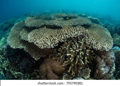 A healthy, shallow coral reef grows in Raja Ampat, Indonesia. This area is known as the heart of the Coral Triangle due to its amazing marine biodiversity.