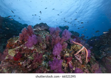 Healthy Soft Coral Reef with Star fish and reef fish surrounding it at Richelieu Rock in Surin National Marine Park, Thailand!