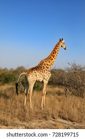 A healthy southern giraffe seen on a game drive in South Africa.