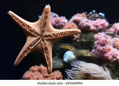 Healthy starfish.