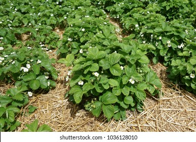 Healthy strawberry plants mulched with straw and in flower ready to fruit