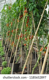Healthy tomato plants growing by the ring culture method in UK greenhouse