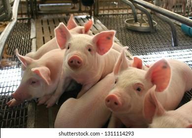 Healthy weaned piglet in farrowing unit