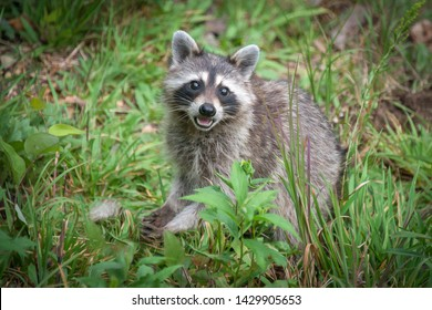 A healthy wild raccoon looks up while it looks for food on the ground.