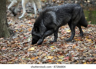 Healthy wild wolf in the woods, tracking prey