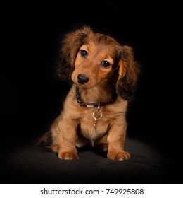 Healthy young longhaired dachshund dog puppy on black background in studio.
