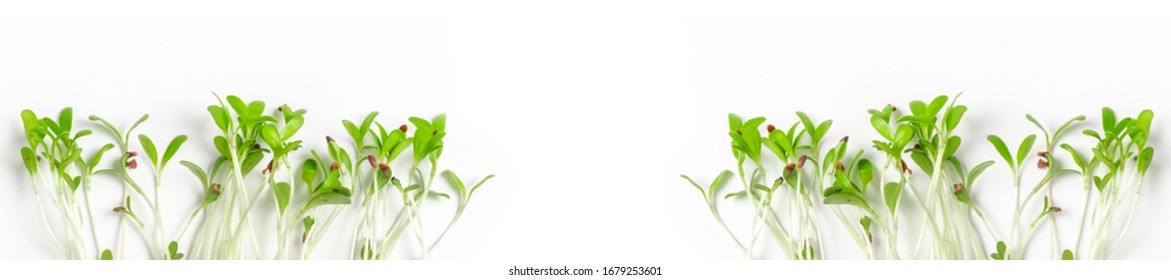 Heap of alfalfa sprouts on white background. Panorama micro  leaf vegetable of green alfalfa seeds sprouts. Website template.