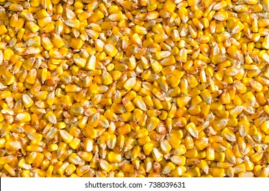 heap of corn seeds or maize in the field of farmland
