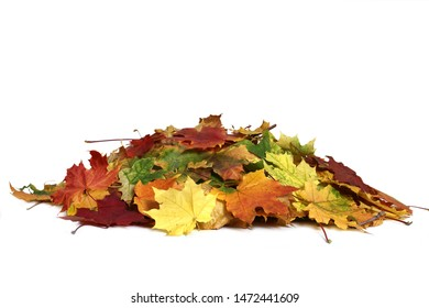 A heap of different maple dry leaf Pile of autumn colored leaves isolated on white background.Red, yellow and colorful foliage.Fall season