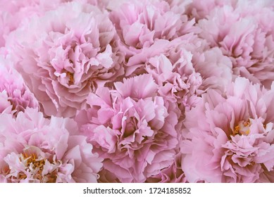 Heap of fresh beautiful pastel pink peony flowers in full bloom, close up, top view. Flowery summer texture for background. Spring blossoms.