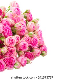 heap of fresh pink rose flowers  isolated on white background