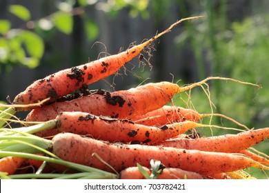 Heap of freshly picked carrots lying on the ground.