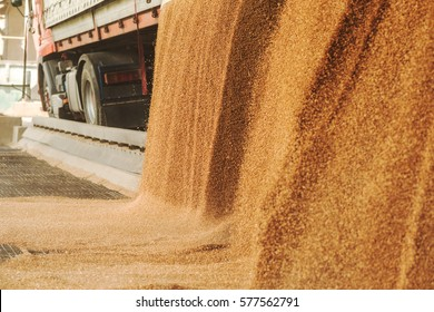 A heap of just harvested corn inside a container. Grain poured from truck- lorry into a silo for processing