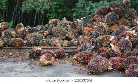 Heap of palm oil fruit, Selling harvested oil palm bunch to wholesalers, Agricultural product
