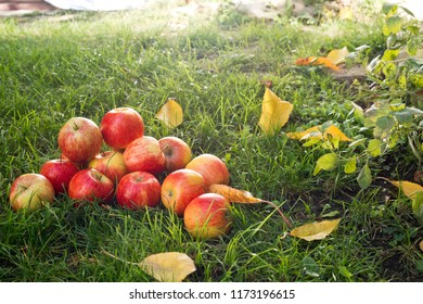 Heap of red apples in the garden
