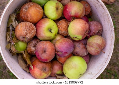 Heap of rotten apples in the garden. Disease scab, fungus and mold.