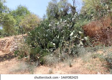 a heap of sabras on a mount of Jerusalem