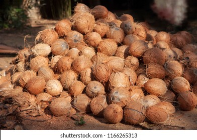 A heap of whole coconuts in the organic farm. A lot of fresh tasty coco in Kerala India dried in sun to make oil from copra. member of the family Arecaceae palm family.  charcoal and coir.  drupe