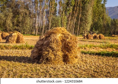 Heaps of rice straw hay in paddy field. The rice field at roadside in Kashmir