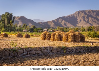 Heaps of rice straw hay in paddy field with mountains in the background in Kashmir