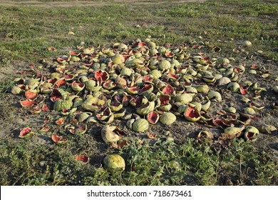 Heaps of rotting watermelons. Peel of melon. An abandoned field of watermelons and melons. Rotten watermelons. Remains of the harvest of melons. Rotting vegetables on the field