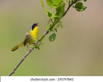 Hear me sing/ A Common Yellowthroat singing pretty in the breeding season.