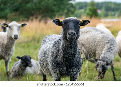 Heard of black and white sheep. A black sheep standing close looking curiously into the camera