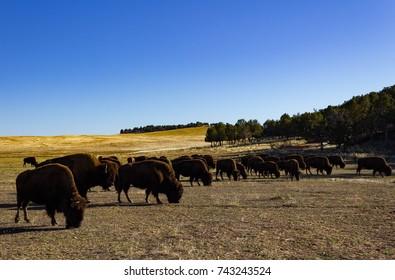 A heard of buffalo grazing on an autumn day near Zion National Park in Utah.