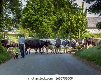 A heard of cows crossing a country lane with a man and his dog.