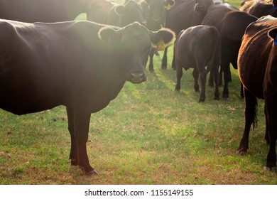 A Heard of Cows in a Field